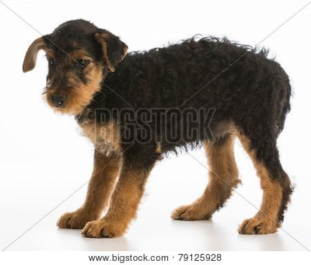 cute puppy - airedale terrier puppy standing on white background