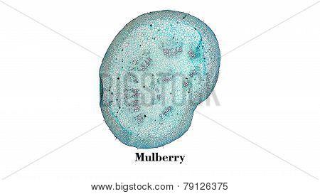 Mulberry Micrograph