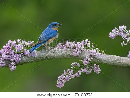 Eastern Bluebird in Lilacs