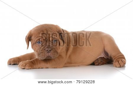 cute puppy - dogue de bordeaux puppy laying down on white background - 5 weeks old