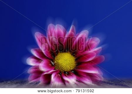 Fresh spring flower with dew drops on blue backgound
