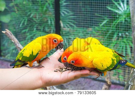Feeding Sun Conure Birds