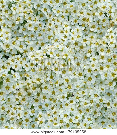 seamless white tiny flower background