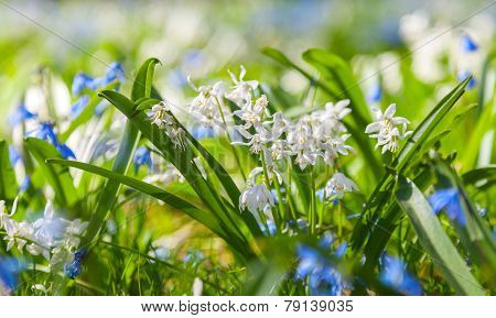 Scilla Sibirica, Blue And White Spring Flowers