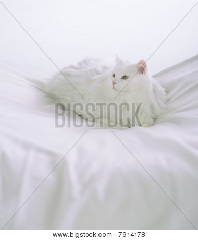 White Longhaired Cat