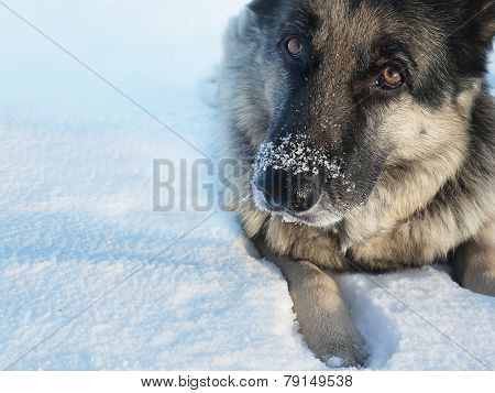 Nose In Snow