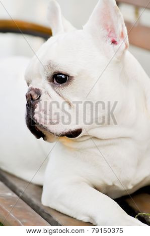 French Bulldog On The Bench