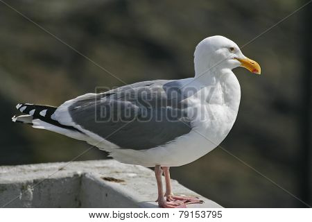 California Sea Gull