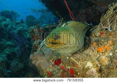 Green Moray On A Coral Reef - Roatan