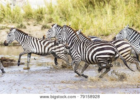 Scared zebras trots in the water