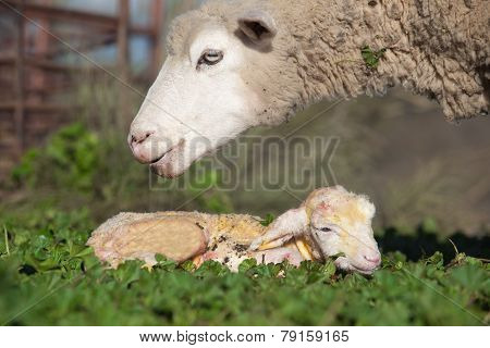 Baby Lamb And Her Maternal Sheep