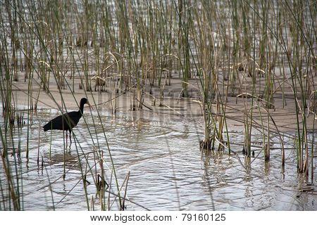bird walking on the lake