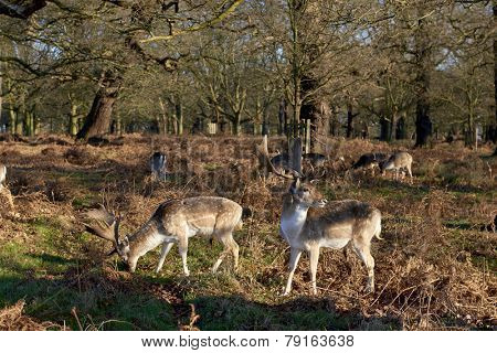 Fallow deer eating in autumnal park