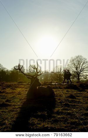 Silhouette of red deer lying in atumnal park in late afternoon light, with two people walking past the background.