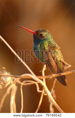 Male Broad-billed Hummingbird Portrait