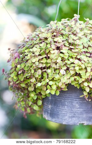 Callisia Repens, Turtle Vine Or  Inch Plant Potted Plant.