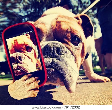 a bulldog close up of his face taking a selfie with a camera cell phone toned with a retro vintage instagram filter effect