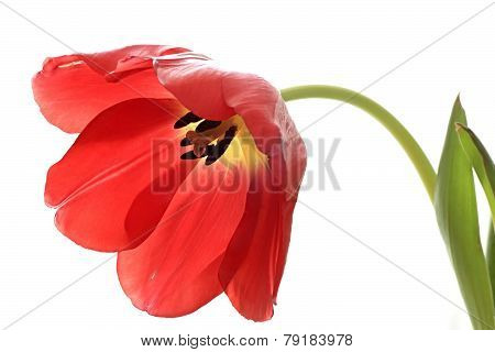 Red exposed tulip.