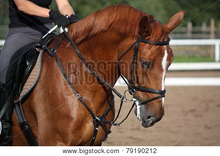 Chestnut Sport Horse Portrait In Summer