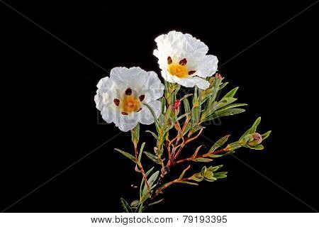 Gum rockrose - Cistus ladanifer - in the heath fields of Alentejo