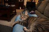 pic of snuggle  - A tabby cat lies snuggled in the lap of an adult wearing blue jeans - JPG