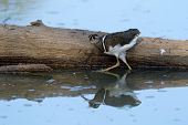 pic of snipe  - Greater painted snipe in water near fallen tree trunk