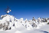 image of laplander  - Trees covered with snow in Finnish Lapland - JPG