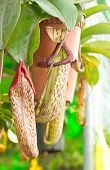 stock photo of nepenthes  - Close up Nepenthes sanguinea in Botanic Garden - JPG