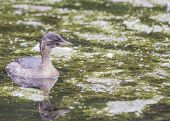 picture of grebe  - Little Grebe spotted in the wild in Dublin ireland