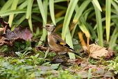 picture of goldfinches  - Portrait of a young Goldfinch in autumn - JPG