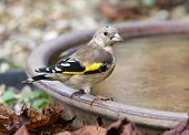 stock photo of goldfinches  - Portrait of a young Goldfinch on a water bowl - JPG
