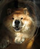 foto of vets surgery  - Chow Chow Dog Wearing Head Cone  - JPG