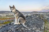 foto of sled-dog  - The Greenland Dog  - JPG