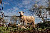 foto of baby sheep  - Baby lamb and her maternal sheep mother Extremadura Spain  - JPG