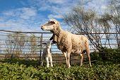 stock photo of baby sheep  - Baby lamb and her maternal sheep mother Extremadura Spain - JPG