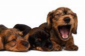 pic of pity  - Three Dachshund puppies lies on white background - JPG