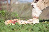 stock photo of baby sheep  - Baby lamb and her maternal sheep mother just after the birth Extremadura Spain  - JPG