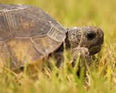 stock photo of endangered species  - A portrait of an endangered Gopher Tortoise in Florida - JPG