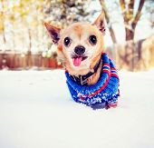 picture of cold-weather  -  a cute chihuahua in the snow wearing a knitted sweater on a cold winter day  - JPG