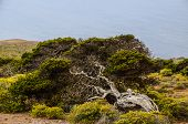 picture of juniper-tree  - Gnarled Juniper Tree Shaped By The Wind at El Sabinar - JPG