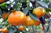 pic of tangerine-tree  - a lot of tangerines on tree in garden - JPG