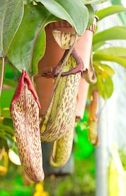 image of nepenthes-mirabilis  - Close up Nepenthes sanguinea in Botanic Garden - JPG