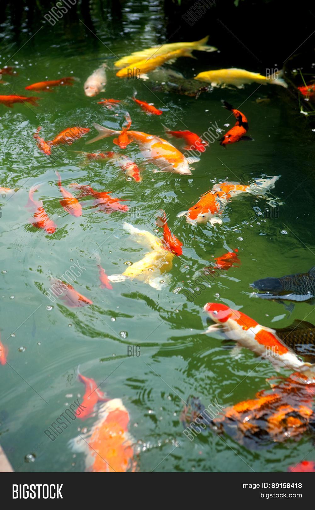 Beautiful ornamental koi fish image photo bigstock for Ornamental fish for pond