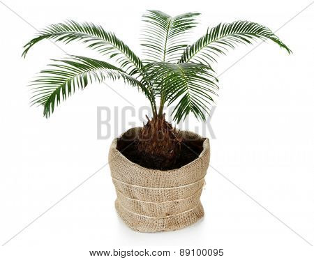 Green palm tree in pot isolated on white