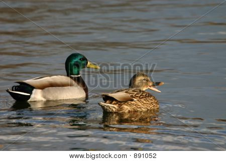 Mallard Pair Quacking