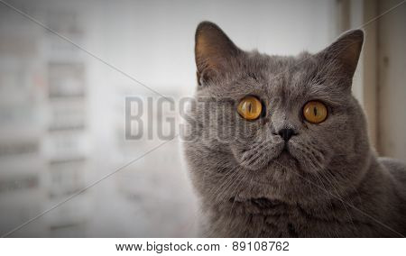 Grey british short hair cat