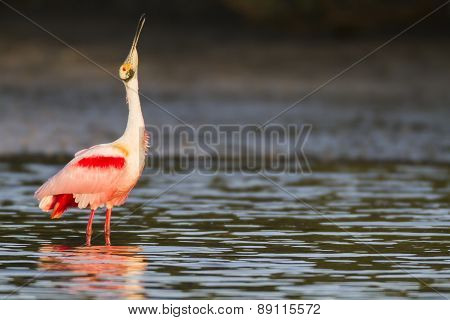 Roseate Spoonbill In Shallows