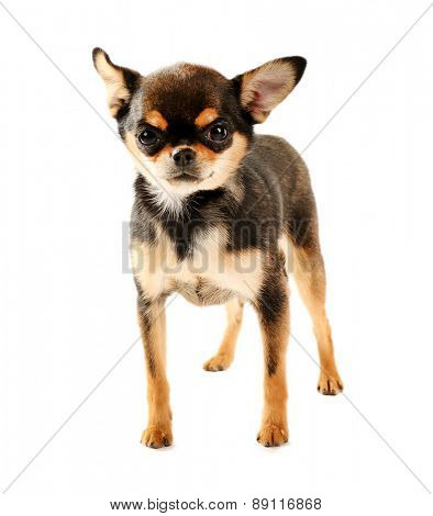 Cute chihuahua puppy isolated on white