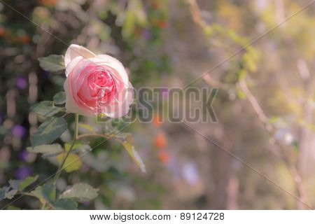 Pink Rose, Soft Focus With Orange In Hilight