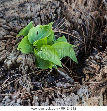 Little Tree On Stump.